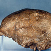 Skull Of Peking Man Poster