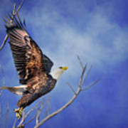 Skyward - Bald Eagle Poster