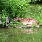 Sleep Fawn White Tailed Deer Poster