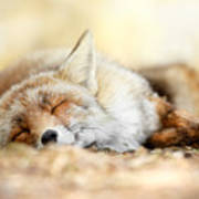 Sleeping Beauty -red Fox In Rest Poster