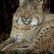 Sleepy Bobcat Poster