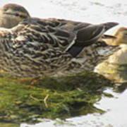 Sleeping Ducks. Poster