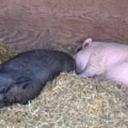 Sleeping Pigs In The Hay Poster