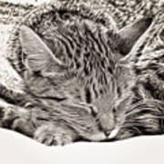 Sleeping Tabby Poster