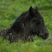Sleepy Dartmoor Foal Poster