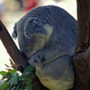 Sleepy Koala Bear Poster