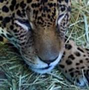 Sleepy Leopard Poster