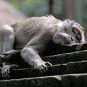 Sleepy Monkey In Monkey Forest Ubud Bali Poster