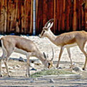 Slender-horned Gazelles In Living Desert Zoo And Gardens In Palm Desert-california Poster