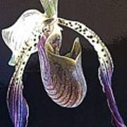 Slipper Orchid Poster