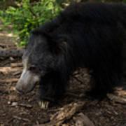 Sloth Bears Melursus Ursinusat Poster