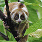 Slow Loris Nycticebus Coucang, Northern Poster