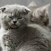 Slumbering Cat Poster
