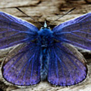 Small Blue Butterfly On A Piece Of Wood In Ireland Poster