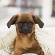 Small Brabant Griffon, Petit Brabancon, Dog  Poster