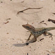 Small Brown Lizard Sitting On A White Sand Beach Poster