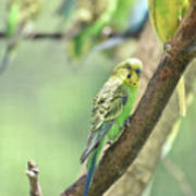 Small Budgie Birds With Beautiful Colored Feathers Poster