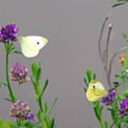 Small Butterflies Sipping Flower Nectar Poster