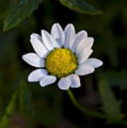 Small Daisy Poster