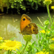 Small Heath Butterfly Poster