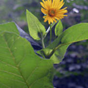 Small Yellow Flower And Green Big Leaves In The Sun Light. Poster
