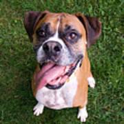 Smiling Boxer Dog Poster