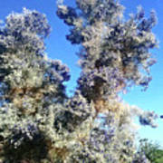 Smoke Tree In Bloom With Blue Purple Flowers Poster