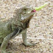 Snacking Iguana On A Concrete Walk Way Poster
