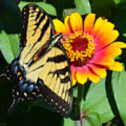 Snacking Tiger Swallowtail Butterfly Poster