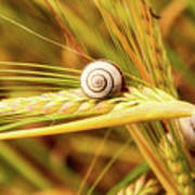 Snails On Wheat Poster