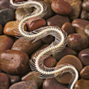 Snake Skeleton  Poster by Garry Gay