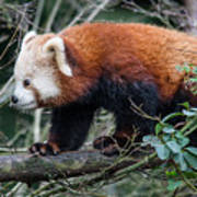 Sneaky Red Panda Poster