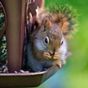 Sneaky Red Squirrel Poster