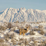 Snow-buck In Wyoming Poster