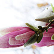 Snow Capped Magnolia Blossoms Poster