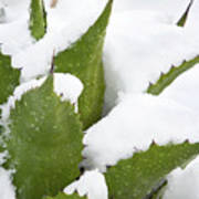 Snow Covered Agave Poster