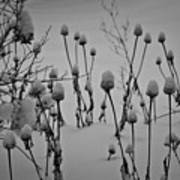Snow Covered Coneflowers Poster