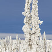 Snow Covered Spruce Trees Poster