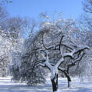 Snow-covered Sunlit Apple Trees Poster