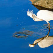 Snowy Egret 6 Poster