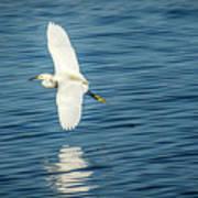 Snow Egret In Flight Poster