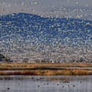 Snow Geese Landing Poster