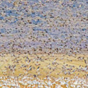 Snow Geese Take Off 3 Poster