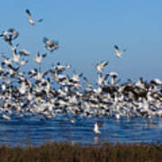 Snow Geese Takeoff I Poster