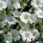 Snow In Summer Flowers Poster
