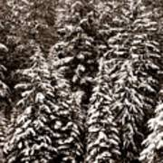 Snow-laden Forest Poster