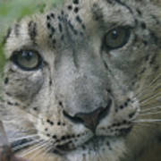 Snow Leopard 10 Poster