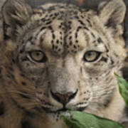 Snow Leopard 13 Poster