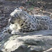 Snow-leopard Poster