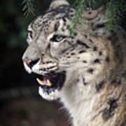 Snow Leopard Portrait Poster